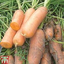 Carrot 'Nantes Frubund' (Fast Crop)