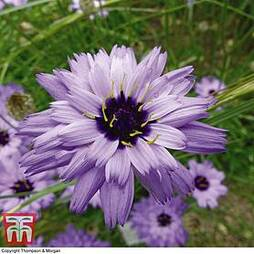 Catananche caerulea 'Amor Blue'