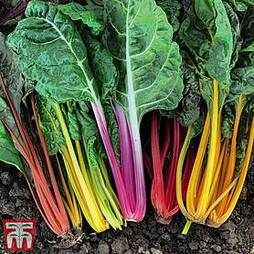 Swiss Chard 'Celebration'