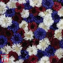 Cornflower 'Red, White & Blue'