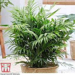 Parlour Palm (House Plant Seeds)