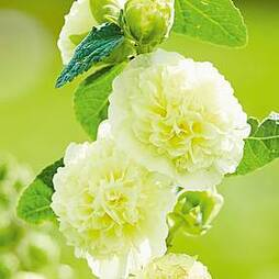 Hollyhock 'Chater's Yellow'