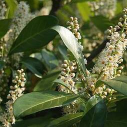 Cherry laurel (Hedging)