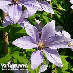 Clematis 'Sugar Sweet'