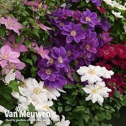 Nurseryman's Choice Clematis