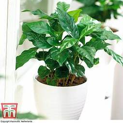 Arabian Coffee Plant (House Plant Seeds)