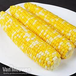 Sweetcorn 'Picasso'