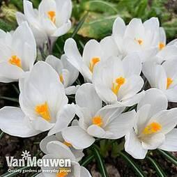 Crocus sativus 'White'