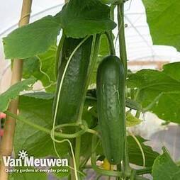 Cucumber 'Passandra' F1 Hybrid