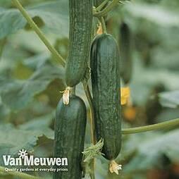 Cucumber 'Picolino'