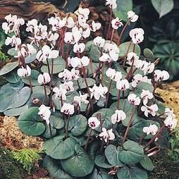 Cyclamen coum subsp. coum f. pallidum 'Album'