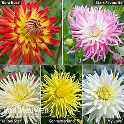 Dahlia 'Starlight Mixed'