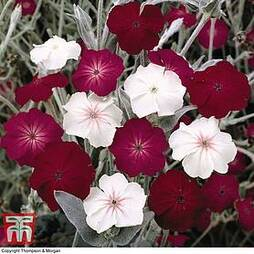 Lychnis coronaria 'Dancing Ladies'