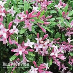 Daphne x transatlantica 'Pink Fragrance'