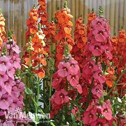 SunDiascia 'Eternal Flames'