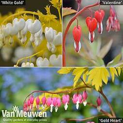 Dicentra Collection