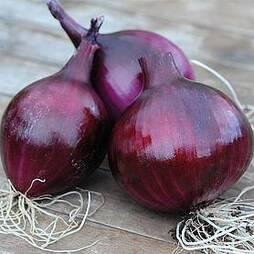 Onion 'Electric' (Autumn Planting)