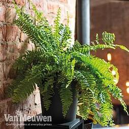 Dryopteris Affinis (House Plant)