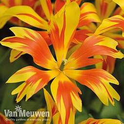 Tulip 'Fire Wings'