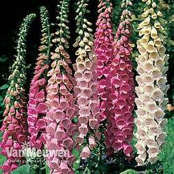 Foxglove 'Excelsior Hybrid Mixed'