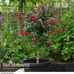 Fuchsia 'Angela' (Hardy) (Standard)