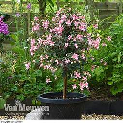 Fuchsia 'Elma' (Hardy) (Standard)