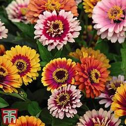 Zinnia elegans 'Funfair Mix'