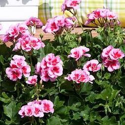 Geranium 'Flower Fairy Pink Splash'