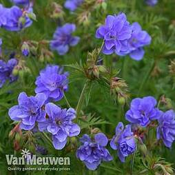Geranium pratense 'Azure Skies'