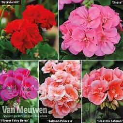 Giant Geranium Bumper Collection