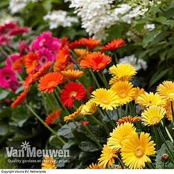 Gerbera 'Sweet Collection' (Hardy)