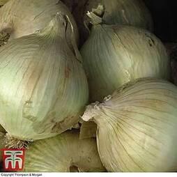 Onion 'Globo'