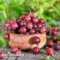Gooseberry 'Giggles Red'