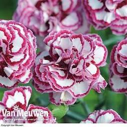 Pinks 'Gran's Favourite'