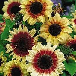Sunflower 'Magic Roundabout' F1 Hybrid