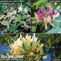 Scented Honeysuckle Collection