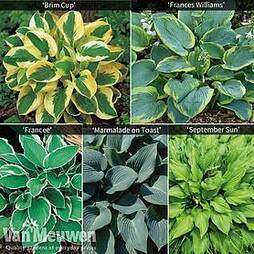 Hardy Hosta Collection