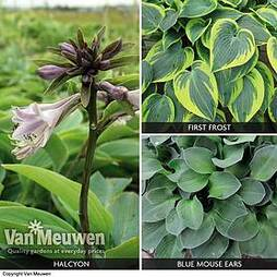 Hosta 'Slug Proof Collection'