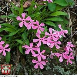 Silene caroliniana 'Hot Pink'