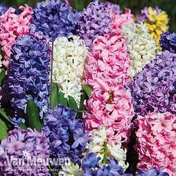 Hyacinth 'Value Mixed'