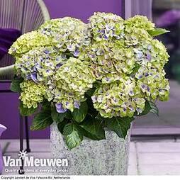 Hydrangea macrophylla 'Magical Jewel'