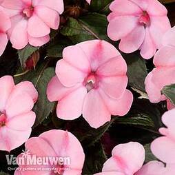 Busy Lizzie 'Sunpatiens Vigorous Rose Pink' (New Guinea)