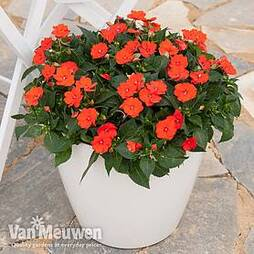Busy Lizzie 'Sunpatiens Vigorous Orange Improved' (New Guinea)