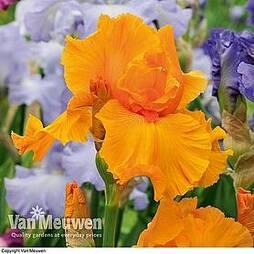 Iris 'Orange Harvest'