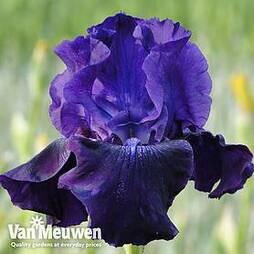 Iris 'Rosalie Figge' (Re-Blooming)