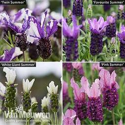 Lavender 'Summer' Collection (Butterfly Garden)
