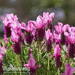 Lavender 'Pink Summer Improved' (Butterfly Garden)