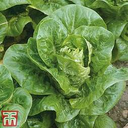 Lettuce 'Little Gem Delight' (Cos) - Organic Seeds