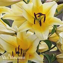 Tree Lily 'Yellow Rocket'