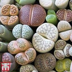 Living Stone Plant (House Plant Seeds)